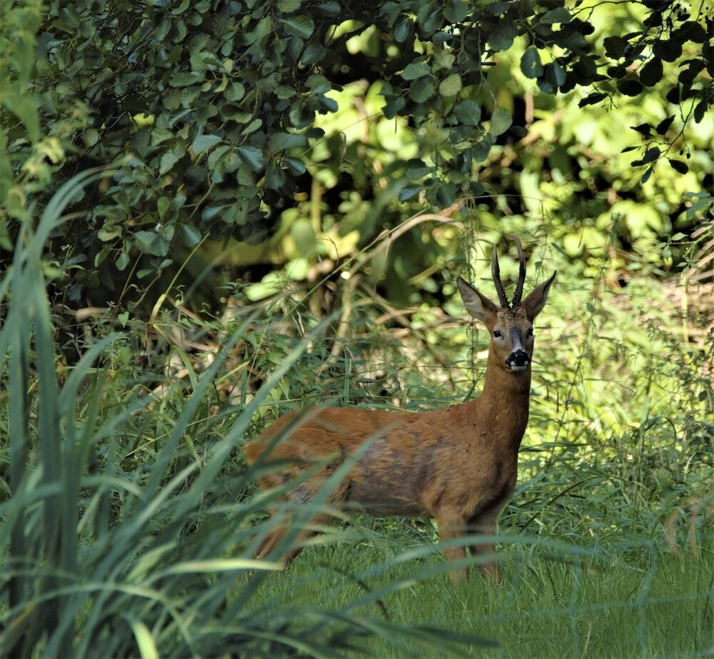 Roe deer by the river Thames inside Oxford