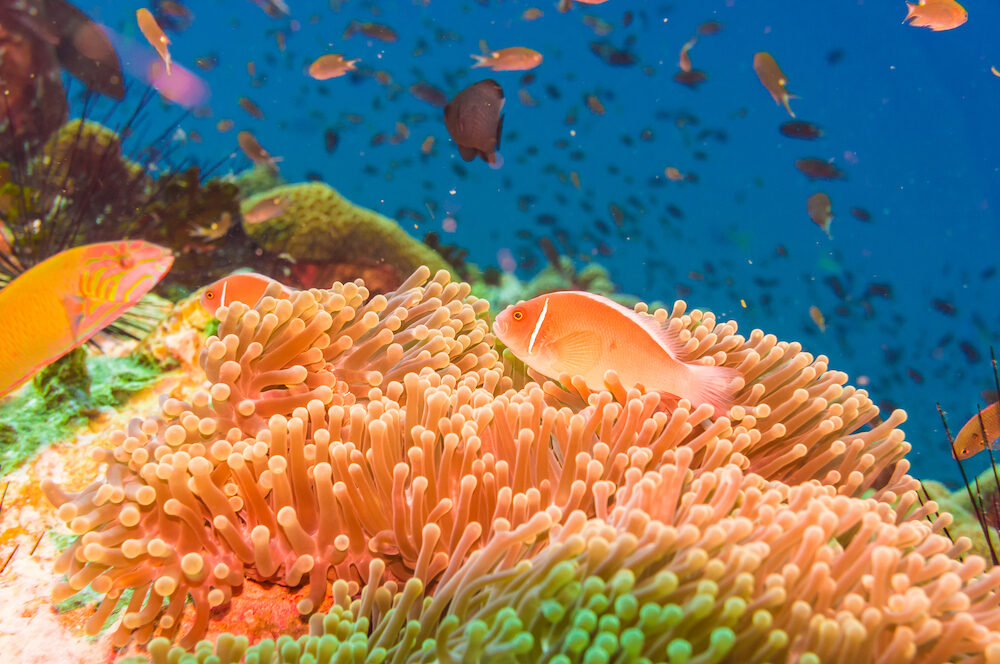 Coral reef and fish underwater at south west pinnacle Koh tao Thailand