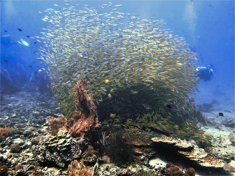 Underwater photo of a school of fish from a scuba dive at Koh Bida Nok in Thailand