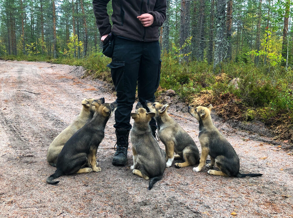 8 week old puppies at Bearhill Husky Kennels in Finland