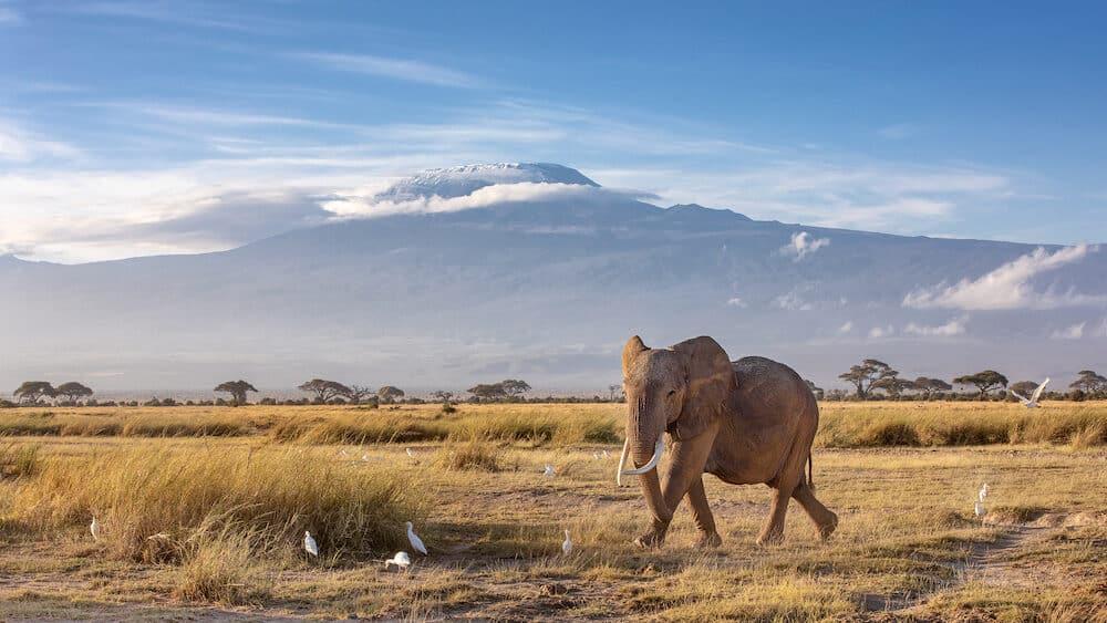 African elephant walking in the grassland at the foot of Mount Kilimanjaro, Kenya.