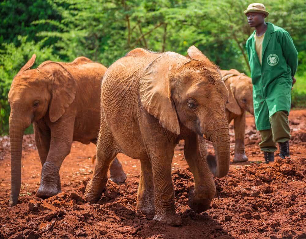 NAIROBI KENYA - Sheldrick Elephant Orphanage in Nairobi (Kenya) - one of the workers observing young orphant elephants playing in the mud