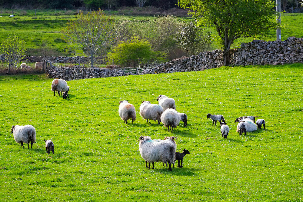 Sheep and rams in Killarney mountains, Ireland