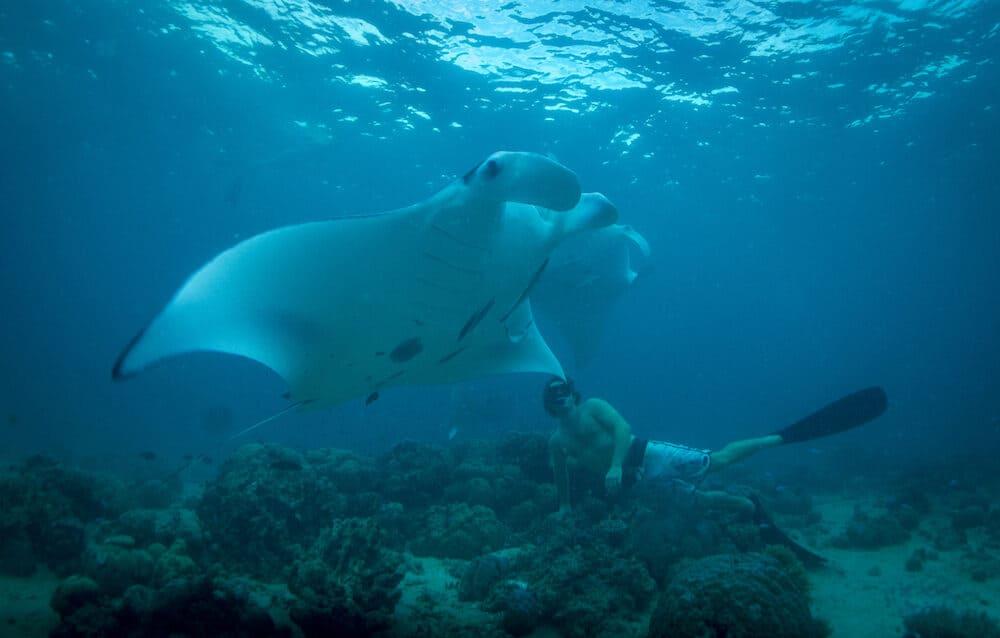 Manta Ray in Solomon Islands