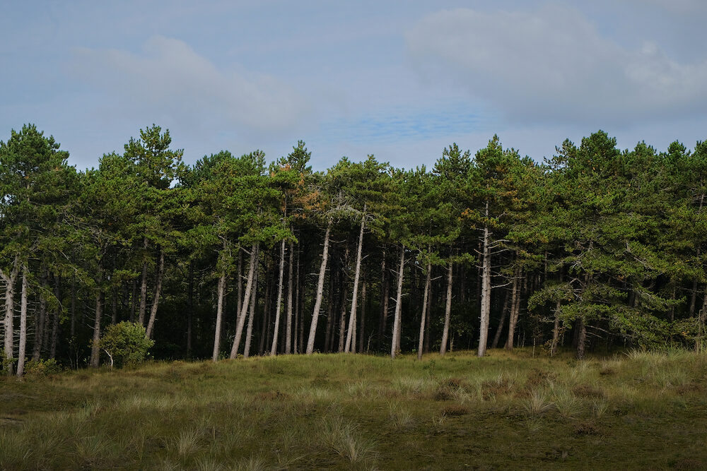 Tall towering pine tree forest edge from a distance