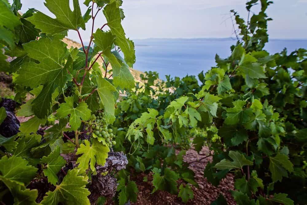 Green grapes in mountain vineyard. Hvar Island Croatia
