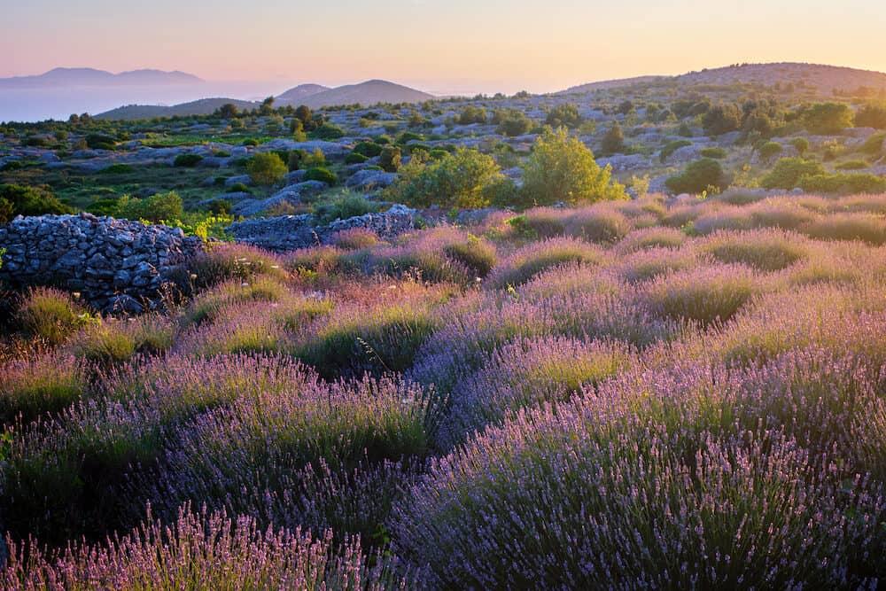 Lavender field on Hvar island in sunshine, Croatia