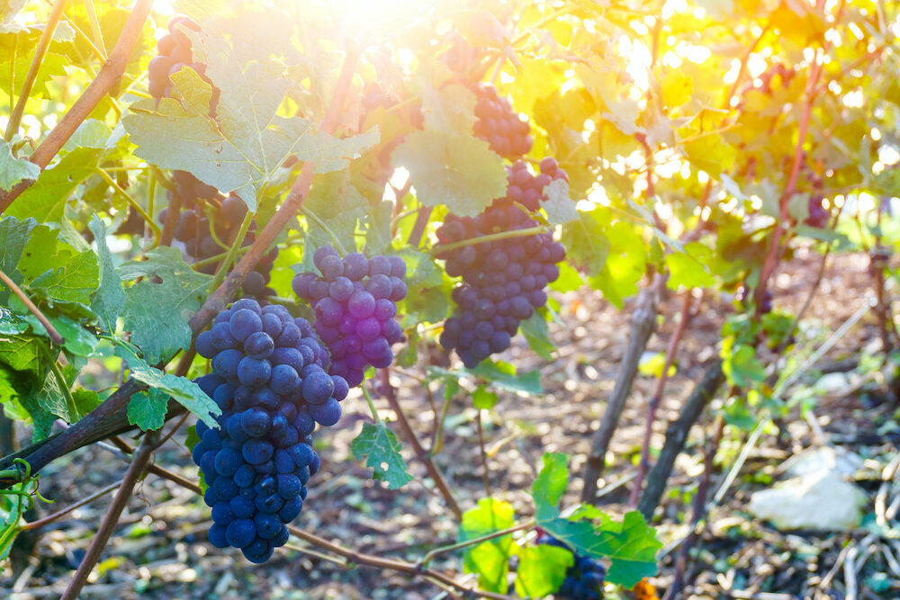 Close up vine grapes in champagne region in autumn