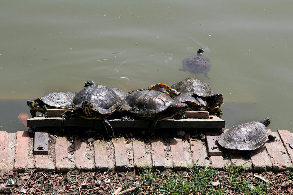 Turtles enjoying the sunshine