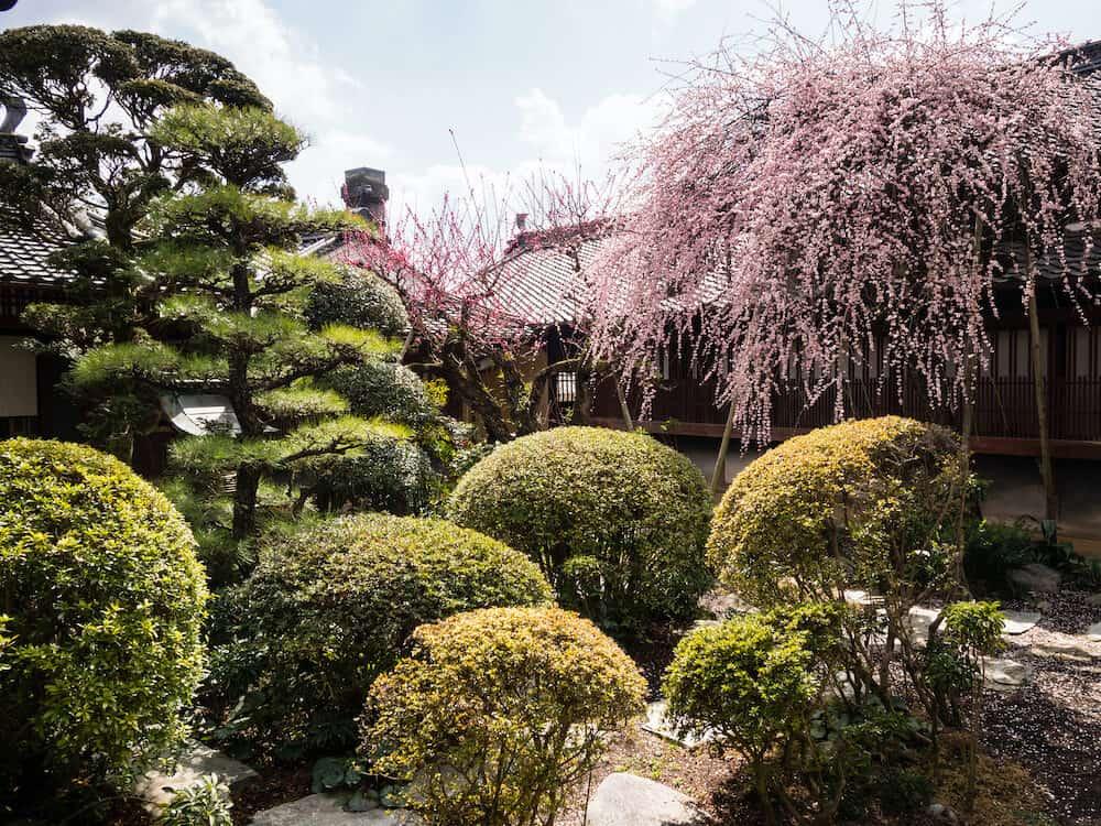 Uchiko, Japan - Plum tree blooming in the garden of Kamihaga residence, a traditional Edo period merchant house in historic Uchiko town