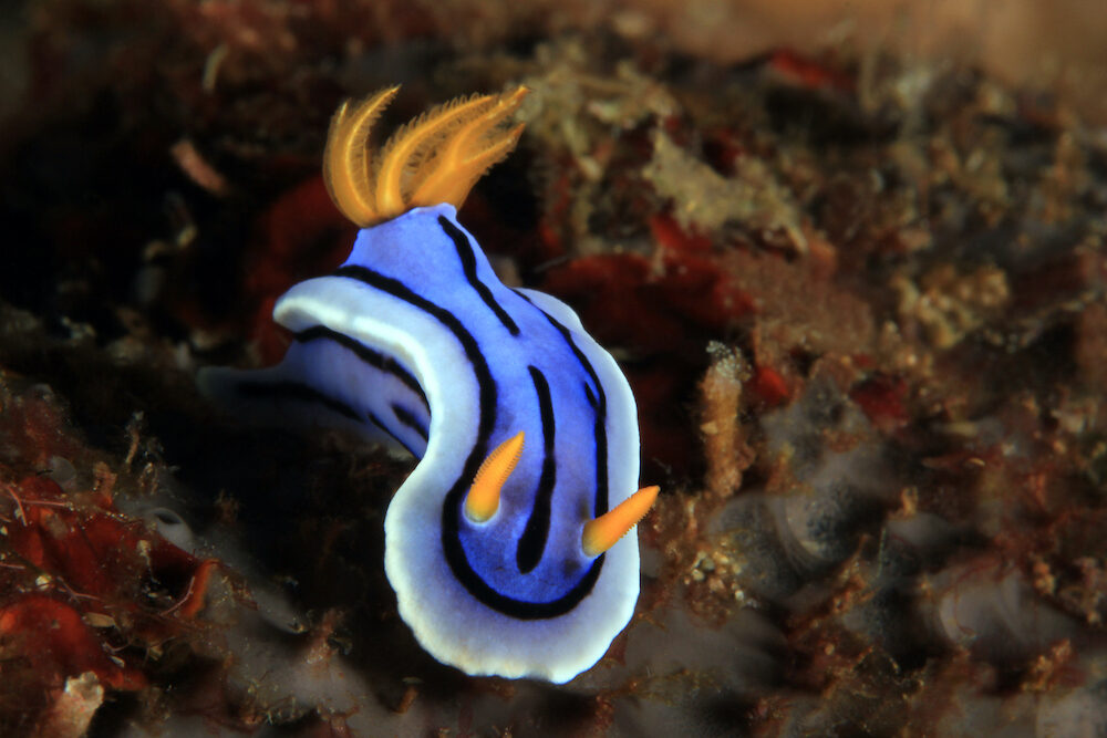 Chromodoris Nudibranch, Unidentified Species, in Anilao, Philippines