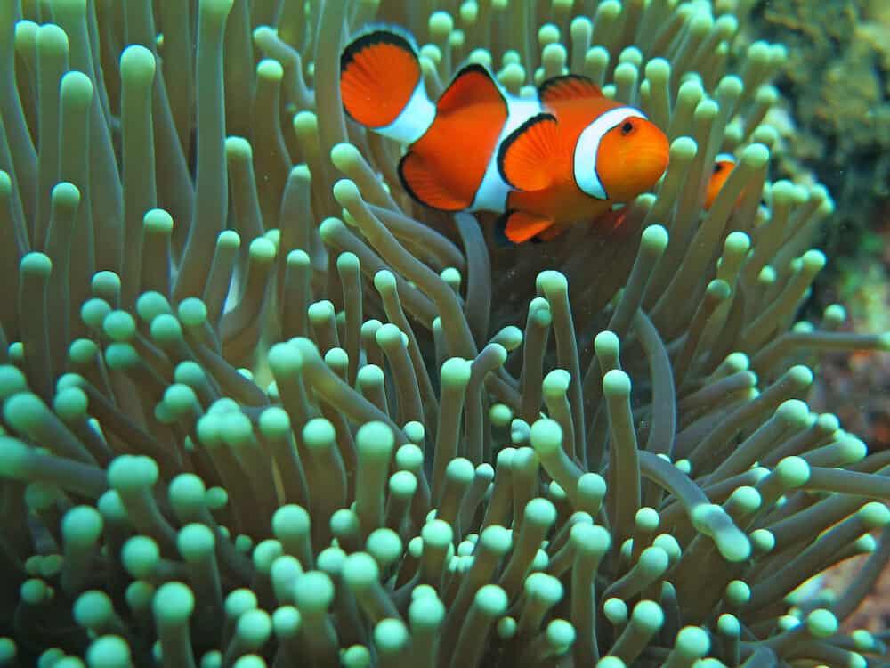 Orange nemo clown fish in the beautiful vivid green anemone.