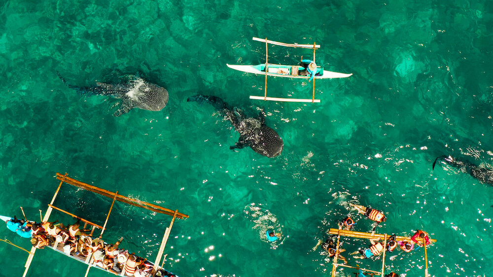 People snorkeling and and watch whale sharks from above. Oslob, a famous spot for whale shark watching. Philippines, Cebu.