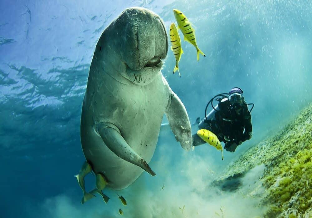 dugong aka sea cow, feeding on sea grass