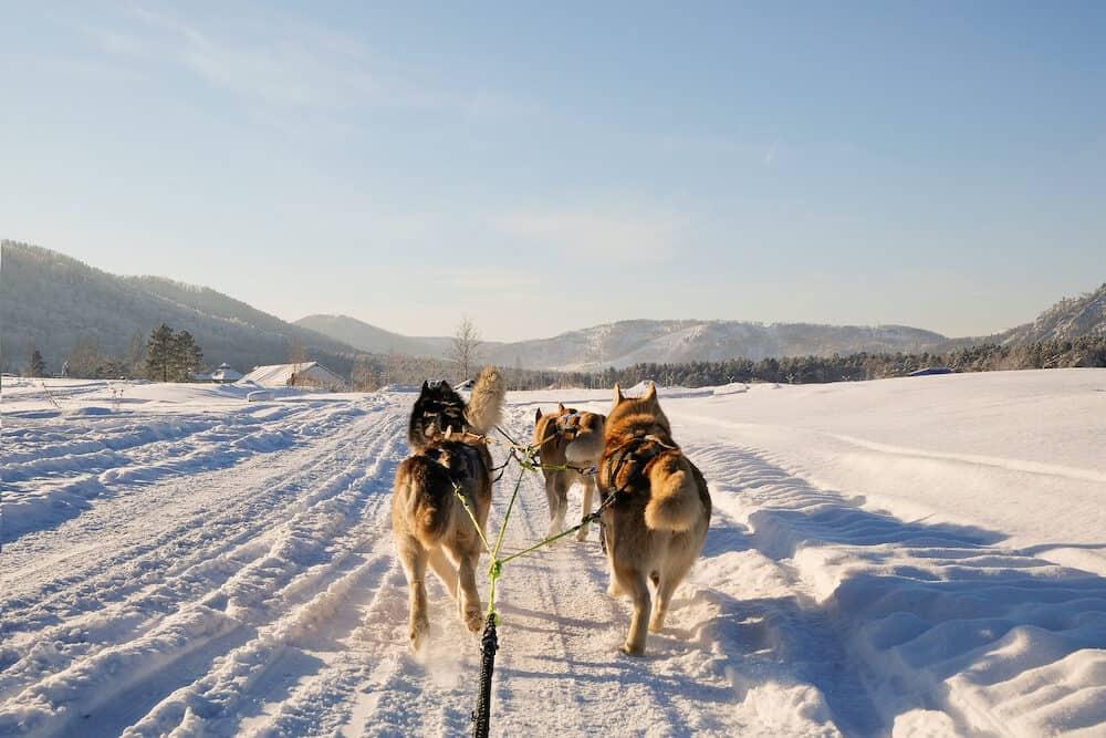 Husky dog sledge. Cute husky sledding dog. Siberian husky sled dog race competition.View from the sleigh