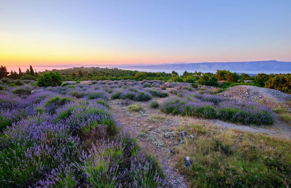 Lavender field on Hvar island at sunset, Croatia