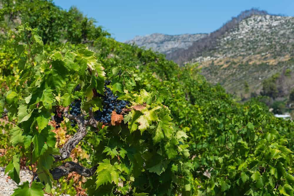 Photo of Organic 'mali Plavac' grapes in local vineyard,Trstenik village, Peljesac Peninsula, Dalmatia, Croatia