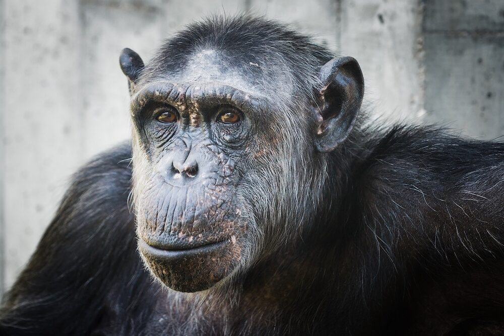 portrait of a chimp in the zoo of heidelberg
