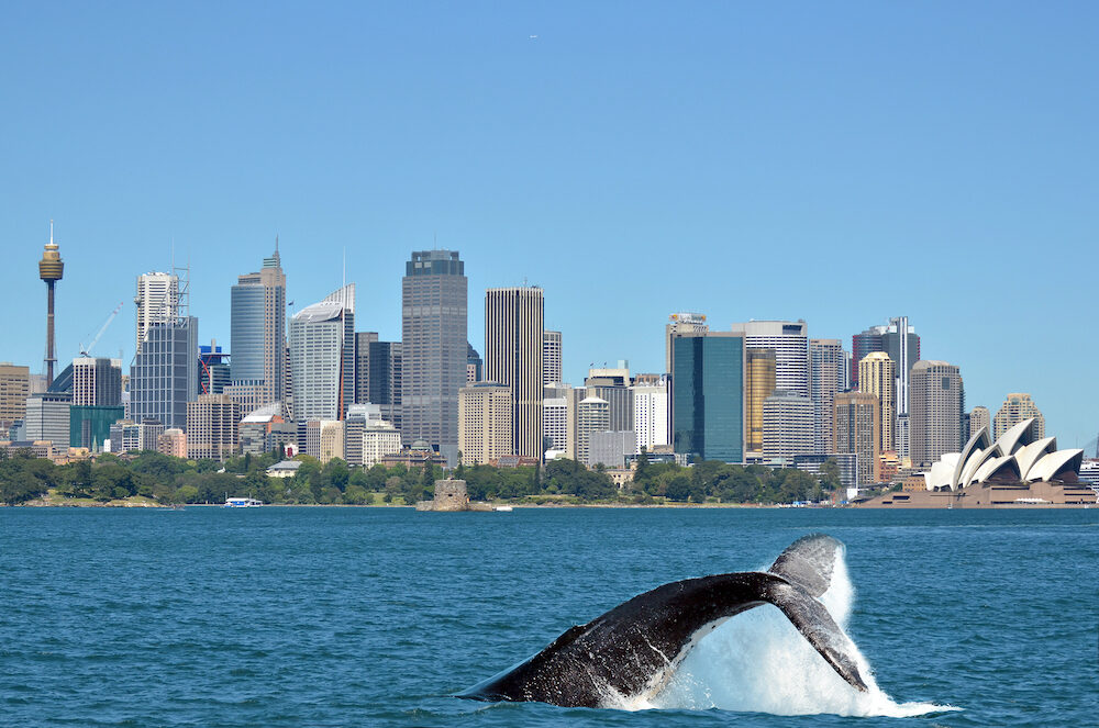 The tail of a Humpback Whale (Megaptera novaeangliae) rises above the water against Sydney skyline in New South Wales Australia.