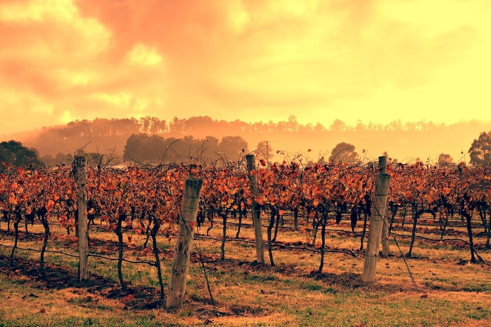 Vineyard in Australia's Hunter Valley