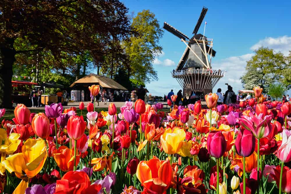 KEUKENHOF, NETHERLANDS -Blooming pink tulips flowerbed in Keukenhof garden, aka the Garden of Europe, one of the world largest flower gardens & windmill & tourists. Lisse, Netherlands