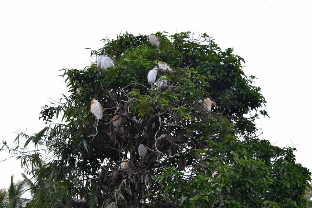 The white herons invading a village in Ubud Bali Indonesia.