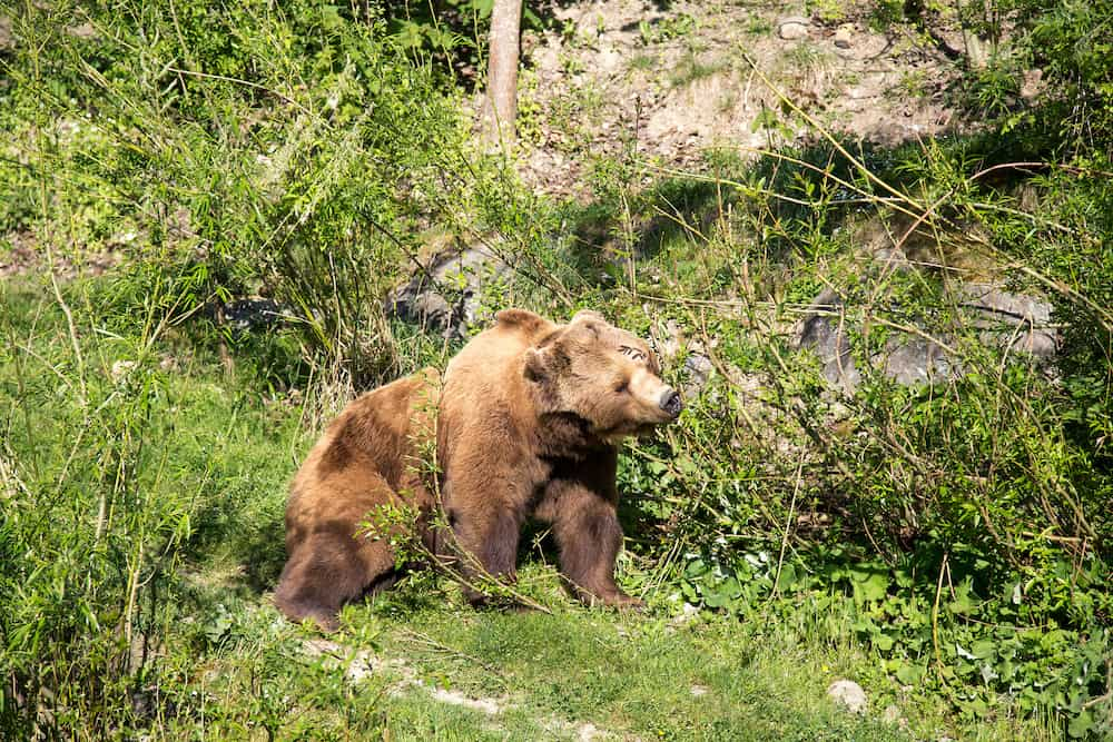 A brown bear in the Bear Park in the swiss city of Bern.