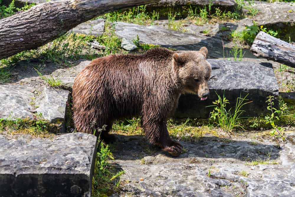 Bear in the bear pit in Bern in a beautiful summer day Switzerland