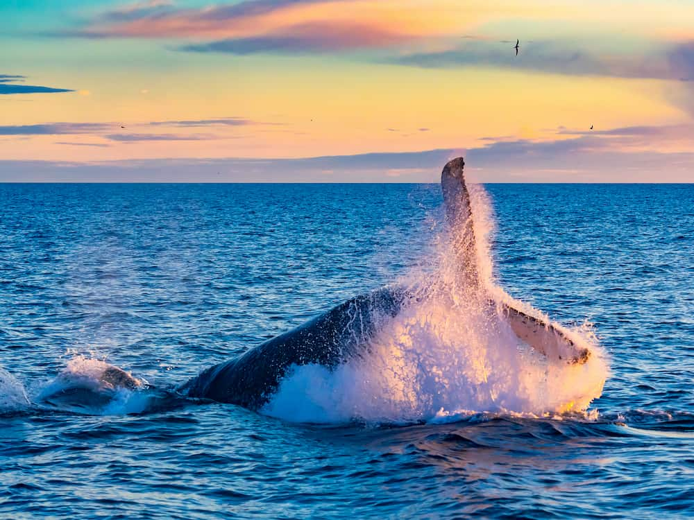 Humpback whale breaking into deep blue sea at Iceland in the morning