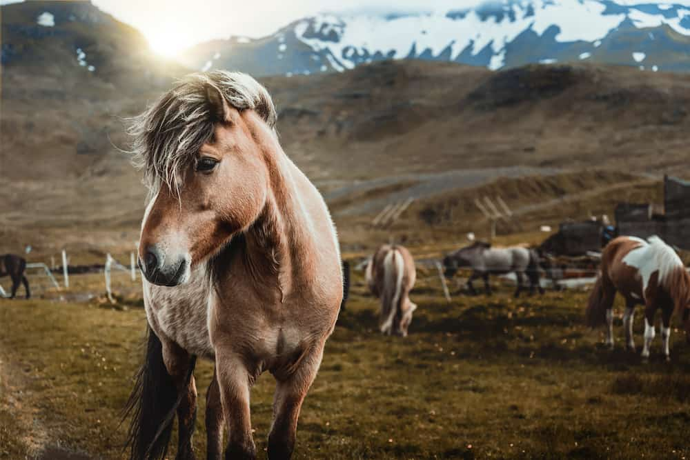 Icelandic horse in the field of the scenic natural landscape of Iceland. The Icelandic horse is a breed of horse locally developed in Iceland, since the import of horses is prohibited under Icelandic law.
