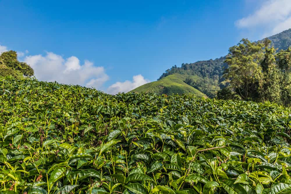 Cameron Highlands Malaysia. Tea plantations in the cameron highlands in Malaysia