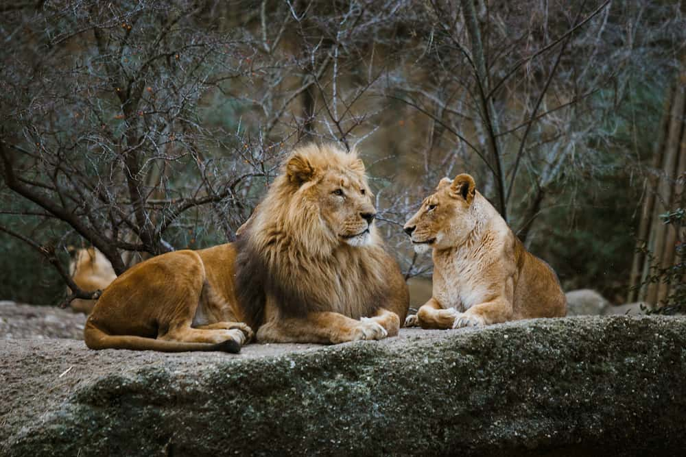 Two adult predators, the family of a lion and a lioness rest on a stone in the zoo of the city of Basel in Switzerland in winter in cloudy weather