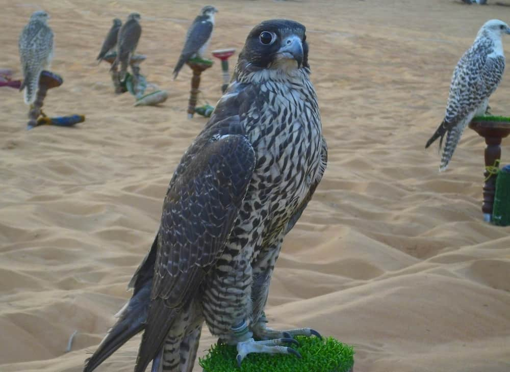 Falcon sitting on the pad in the oasis of liwa, Abu Dhabi.