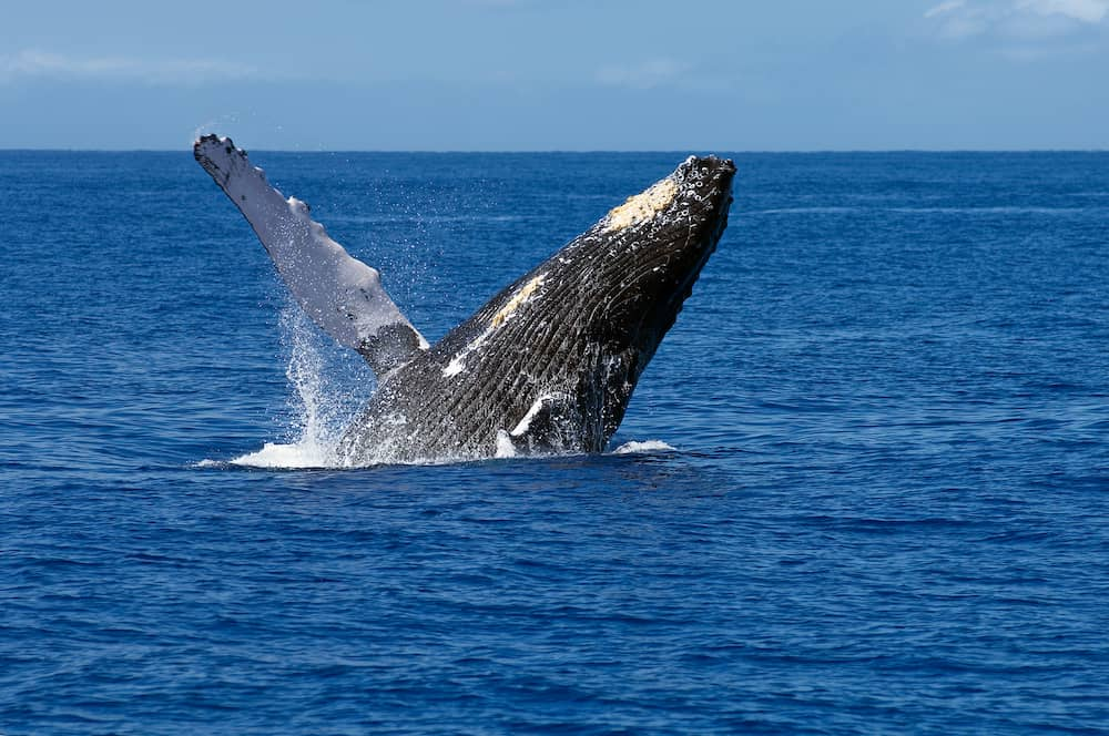 A humpback whale breaches off the coast of Maui Hawaii. These whales migrate to the warm Hawaiian waters during the winter each year to mate and give birth.