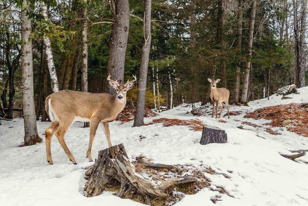 Deers in the winter (Safari Park Omega near Montebello Quebec Canada)
