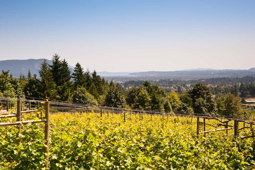 Vineyard on Vancouver Island, British Columbia, Canada