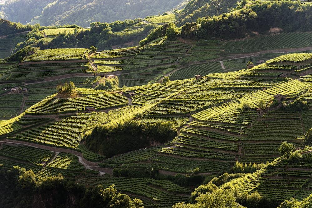 Terraced fields with green vineyards at summer, Italian Alps, Trento Province, Trentino Alto Adige, Italy, Europe